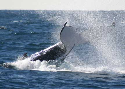 Whale Watching Sydney - Tourism Brisbane