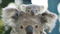 Billabong Koala and Wildlife Park - Tourism Brisbane