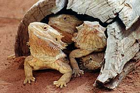Alice Springs Reptile Centre - Tourism Brisbane