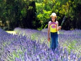 Brayfield Park Lavender Farm - Tourism Brisbane