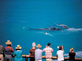 Whale Watching At Head Of Bight - Tourism Brisbane