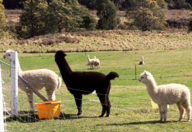Maydena Country Cabins Accommodation & Alpaca Stud
