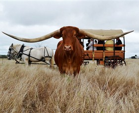 Texas Longhorn Wagon Tours and Safaris - Tourism Brisbane