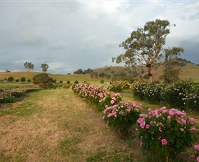 Damasque Rose Oil Farm - Tourism Brisbane