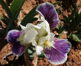 Sunshine Iris Nursery - Tourism Brisbane