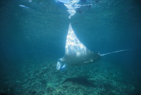 Manta Ray Bay Dive Site - Tourism Brisbane