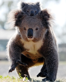 Koalas in Gunnedah - Tourism Brisbane