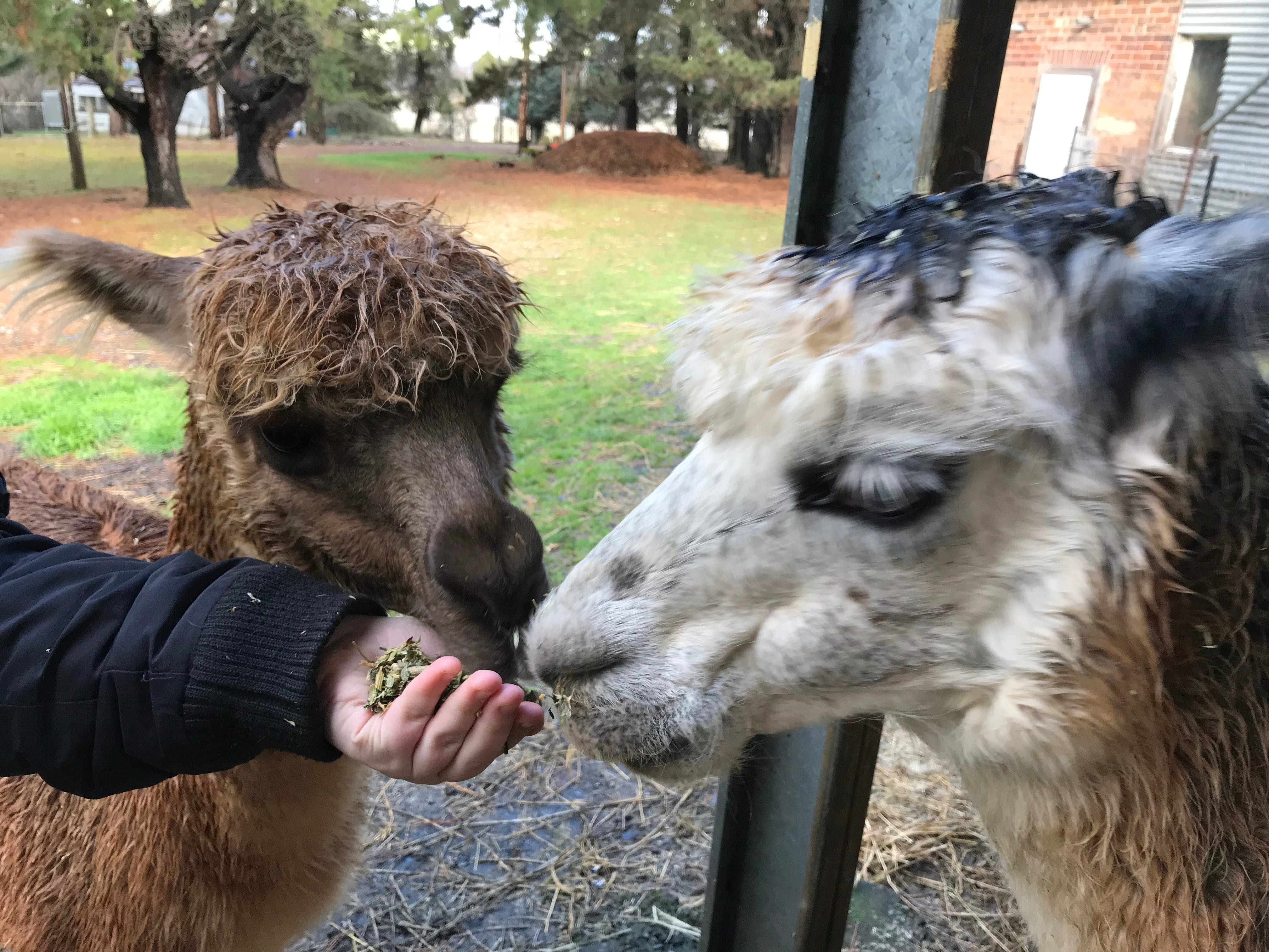 Alpaca Farm Experience at Crookwell - Tourism Brisbane