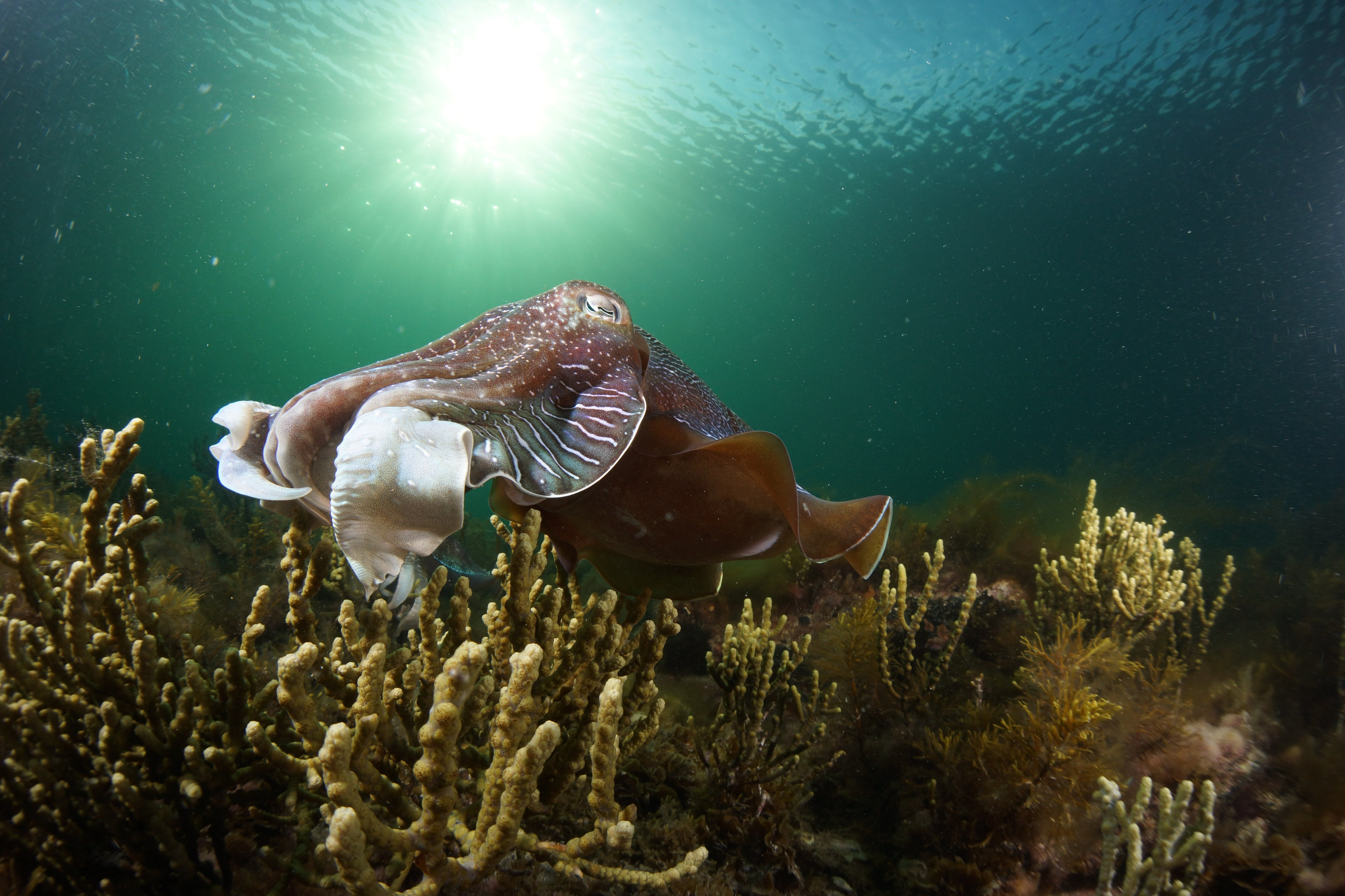 Cuttlefish Diving  Snorkeling EVERYDAY May -August - Tourism Brisbane